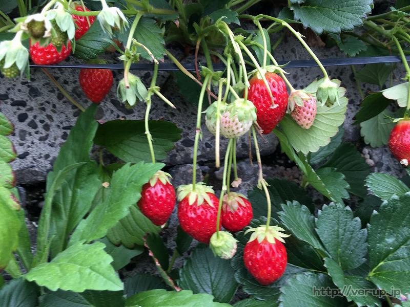 石垣イチゴのアップ写真