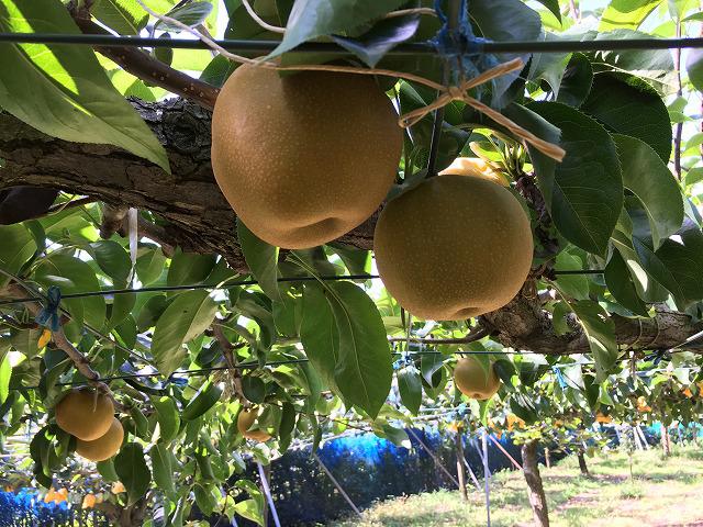 豊水の梨畑
