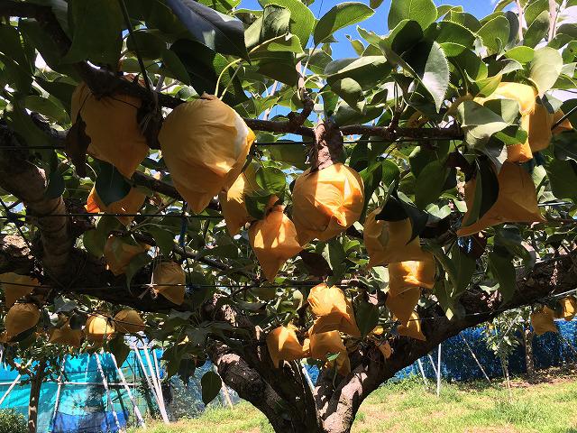 20世紀梨の梨畑
