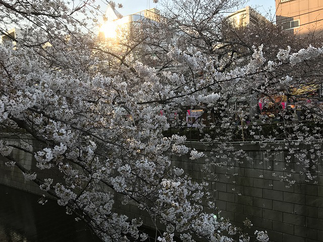 中目黒の花見